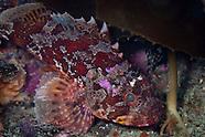 Scorpaena papillosa (Dwarf scorpionfish)