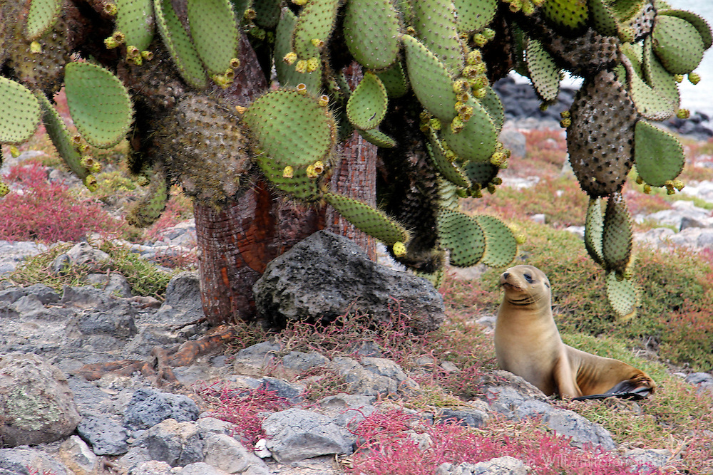 South America, Ecuador, Galapagos, South Plaza Island. A Sea Lion rests under Prickly Pear Cactus Tree, Plaza Island, Galapagos.