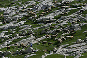 Sheeps in the meadow next to Maale Adumim Jan 12, 2013. Photo by Oren Nahshon