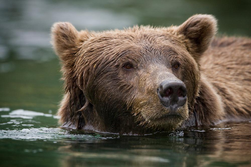USA, Alaska, Katmai National Park, Kinak Bay, Brown Bear (Ursus arctos) swimming in river while fishing for spawning salmon on autumn day