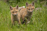 After spending the first month of life in a den, red fox kits will begin venturing into the outside world during early summer. Parents visit the den less and less as summer goes on, and the quickly growing kits will begin to tumble out of the den to play, explore, and hunt mice on their own.