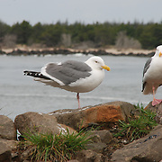 Seagulls standing on the rocks near the Umpqua River which enters the Pacific Ocean at Reedsport, Oregon.