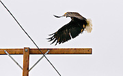 Eagle taking off from T-bar mounted on a utility pole above power lines