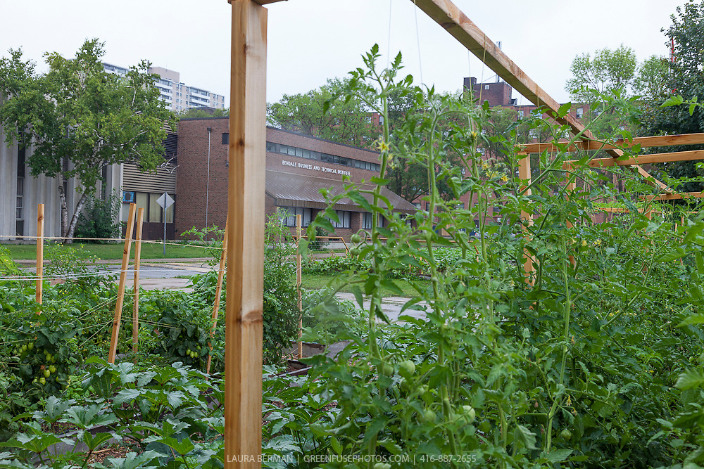 The market garden at Bendale Business and Technical Institute, Toronto.