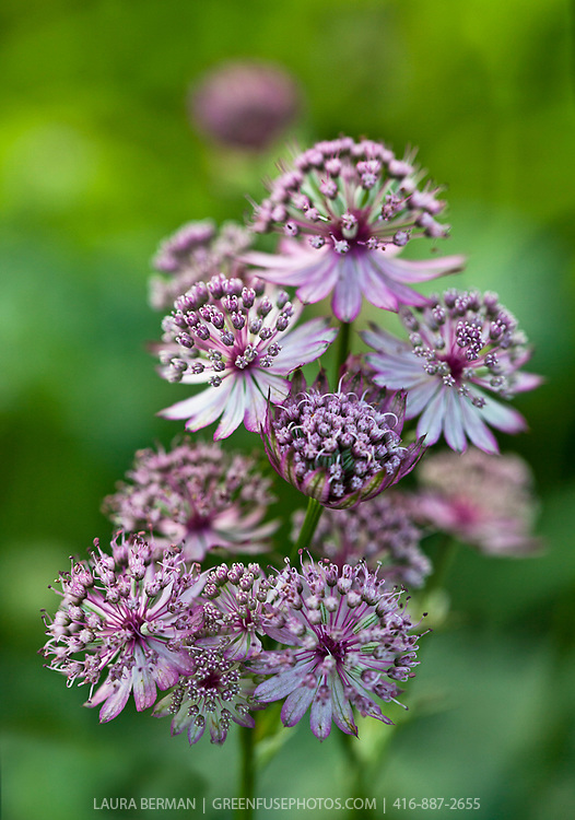 Star of Beauty Purple Masterwort (Astrantia major 'Star of Beauty')