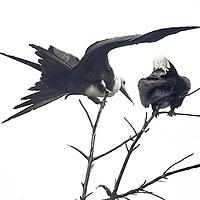 Maginificent frigatebirds rest in a tree overlooking Old Harbour Bay, Jamaica