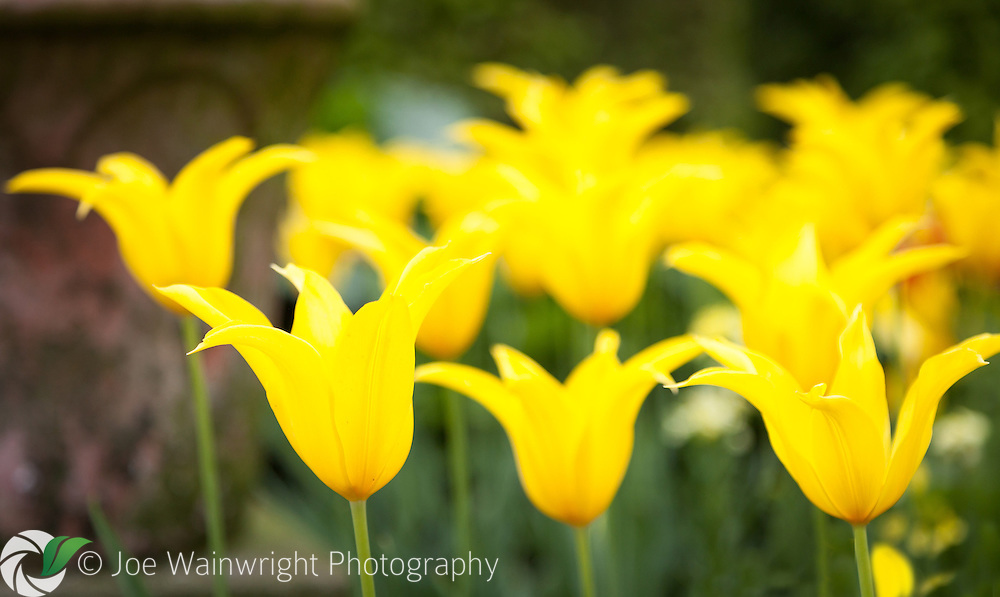 A display of yellow, lily flowered tulips, brightens an April afternoon.