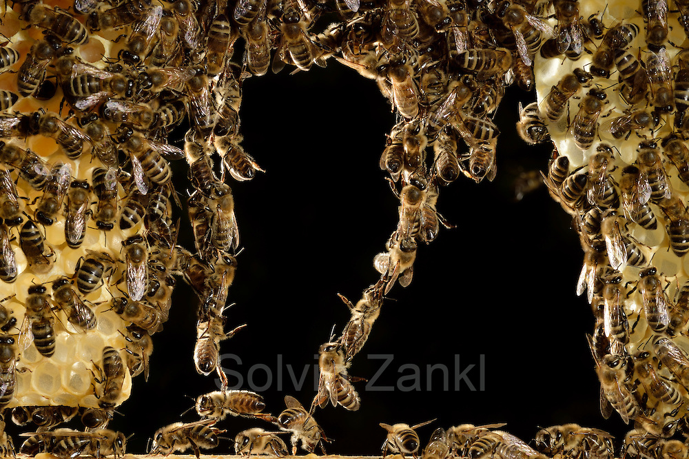 The honey bees (Apis mellifera) form a living chain, over which others can climb. Kiel, Germany | Die Honigbiene (Apis mellifera) formt lebende Ketten, über die Artgenossen klettern können, um größere Abstände zu überbrücken. Diese Ketten beschreiben auch das Lot, in der die Artgenossen beim Wabenbau ihr Bauwerk ausrichten.  Kiel, Deutschland