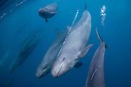Pseudorca crassidens (False-killer whales)