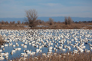 Wintering Pacific Flyway Waterfowl, Sacramento National Wildlife Refuge, California