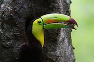 Keel-billed Toucan (Ramphastos sulfuratus) feeding, Honduras