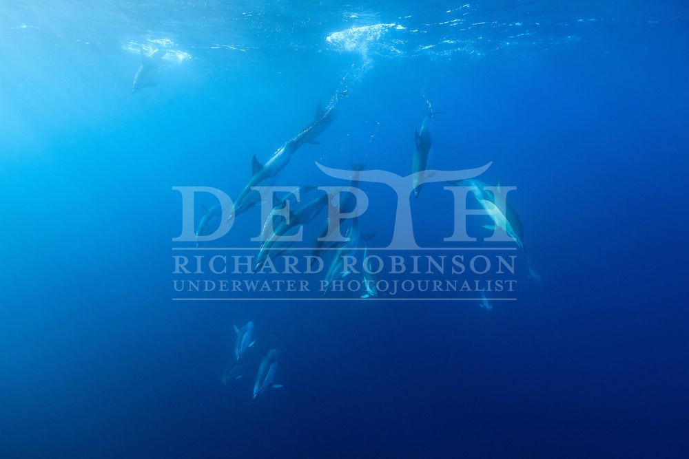 Delphinus delphis (Common dolphin) off the north eastern coast of New Zealand.<br /> Richard Robinson &copy; 2016.