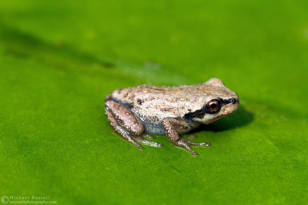 Closeup of a juvenile Pacific Tree Frog aka the Pacific Chorus Frog (Pseudacris regilla) sitting on a lily pad