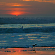 A shorebird runs along the beach near Santa Cruz, California as the sun sets over the Pacific Ocean.