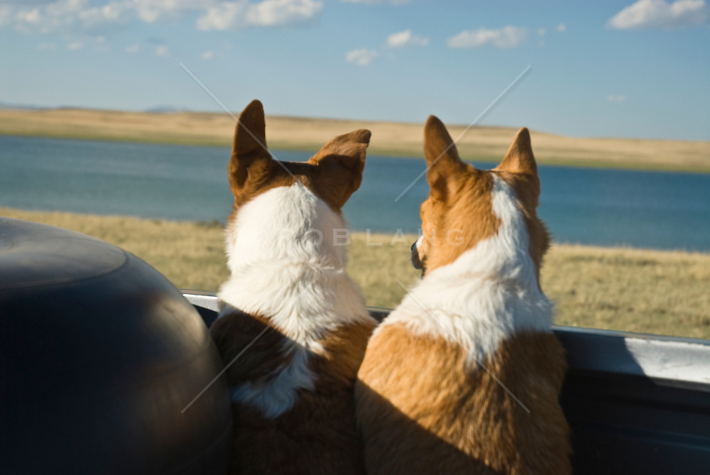 two small dogs riding in the back of a pickup truck in New Mexico by a lake