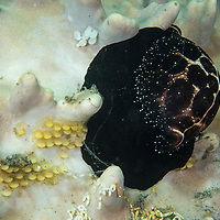 Common Egg Cowrie, Ovula ovum, laying eggs on coral, Lembeh Island, Lembeh Strait, Pacific Ocean, Indonesia,