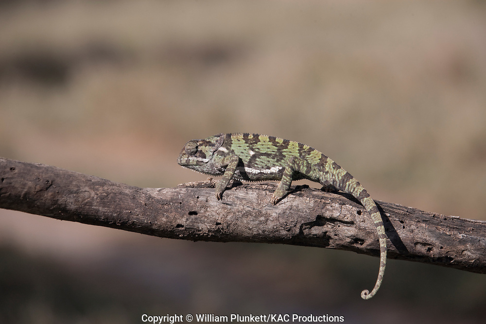 "Flap-necked chameleon  (Chamaeleo dilepis), Serengeti National Park, Tanzania, "" Wild but Controlled Situation"""