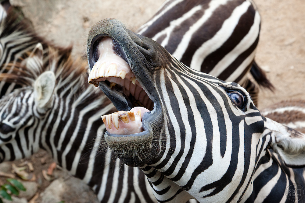 """Zebra Shouting"" - This shouting zebra was photographed at the Puerto Vallarta zoo."