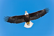Bald Eagle (Haliaeetus leucocephalus) with wings open fullspread flying overhead in Eagle River in Southcentral Alaska. Winter. Morning.