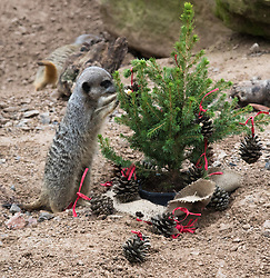 ZSL London Zoo, London, December 15th 2016. Christmas comes ten days early for the Sumatran tiger cubs at at ZSL London Zoo. Mother Melati and her two cubs Achilles and Karis wake up to Christmas presents in their enclosure and the two unruly six-month-old cubs set about opening them. PICTURED: A meerkat appears to be decorating a little Christmas tree.