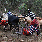 Young Pokot men restrain a bull as they prepare to extract blood from its neck with an arrow, during an initiation ceremony of young men in order to become recognised adults within their community, about 80 Kilometres from the town of Marigat, in Baringo County, Kenya, January 20, 2016.