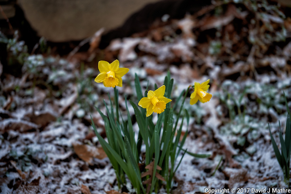 Daffodils after a quick snowfall. Winter nature in New Jersey. Image taken with a Nikon Df camera and 70-200 mm f/2.8 lens (ISO 400, 200 mm, f/2.8, 1/200 sec).