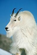 Mountan Goat