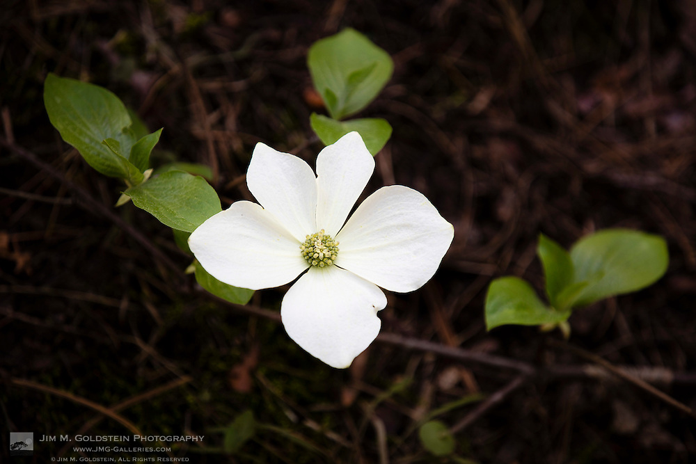 Dogwood Blossom above the forest floor, Yosemite National Park