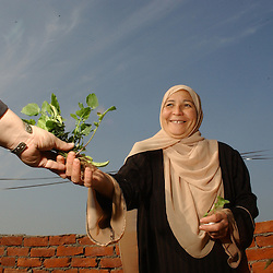 Cairo, Egpyt: Oum Hashem Rashad, 46, works in her rooftop garden in Fayoume, Egypt December 5, 2005. She is a recipient of the telefood project by FAO which has enabled her to have a small garden on her roof. The extra food has  provided an extra income for her family and also fresh, pesticide free vegetables. (Photo by Ami Vitale)