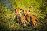 Lion cubs, Panthera leo, Vumbura plains, Okavango Delta, Botswana