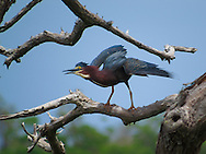 Green Heron taking flight from a stand of dead mangrove.