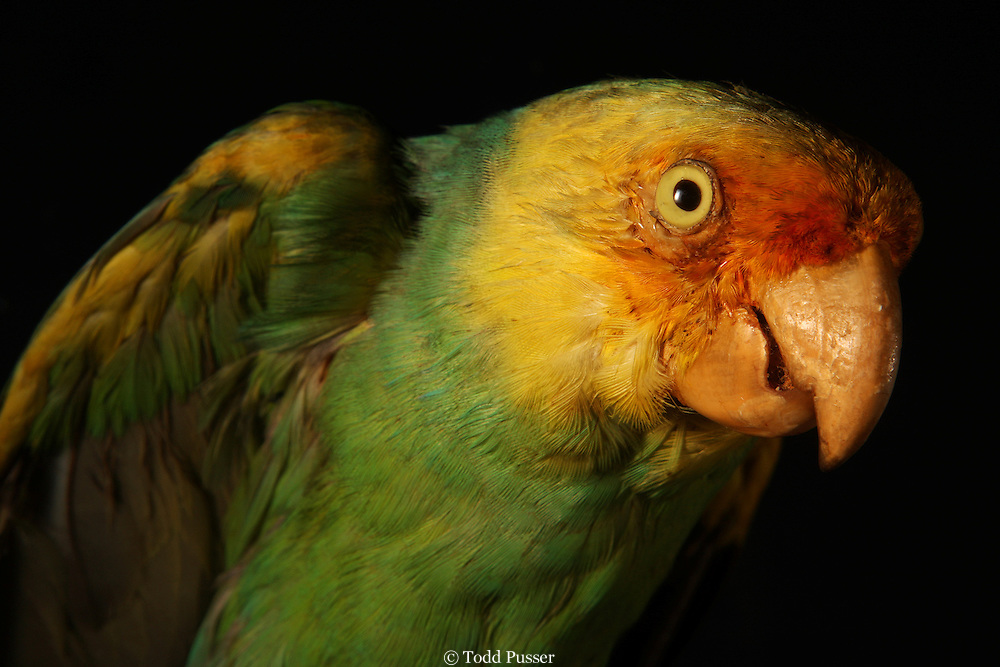 Portrait of recently extinct Carolina Parakeet (Conuropsis carolinensis).  Specimen from the North Carolina Museum of Natural Sciences