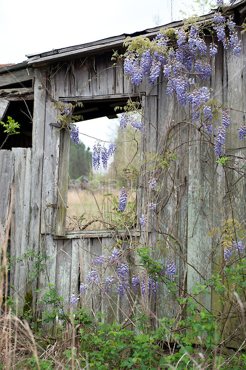 lilac in bloom on an abandoned building in South Carolina