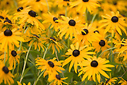 A cluster of black-eyed susans blooms profusely
