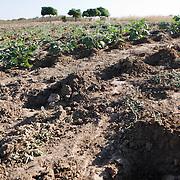 7 June 2010, Mazabuka, Zambia. Aubergine or eggplant