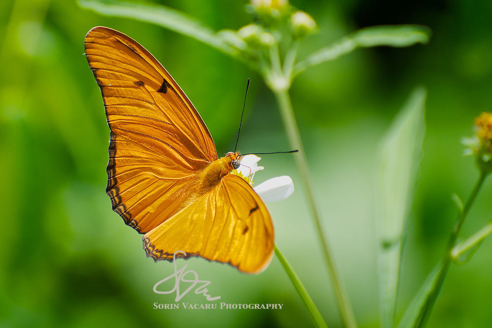 Julia Heliconian/Dryas iulia Butterfly on a White Flower