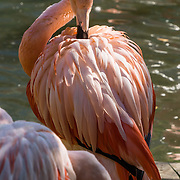 Chilean  flamingo (Phoenicopterus chilensis), Indianapolis Zoo, Indianapolis, Indiana, USA. Flamingos are a wading bird in the genus Phoenicopterus, the only genus in the family Phoenicopteridae. There are four flamingo species in the Americas and two species in the Old World.