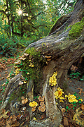 Mushrooms and mosses on tree trunk, Hoh Rainforest, Hall of Mosses Trail, Olympic National Park, Washington..