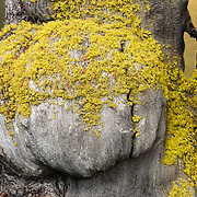 Yellow lichen grows on a tree burl in Sawtooth Wilderness, near Stanley, Idaho, USA. The Sawtooths are comprised of the pink granite of the 50 million year old Sawtooth batholith. Sawtooth Wilderness, managed by the US Forest Service within Sawtooth National Recreation Area, has some of the best air quality in the lower 48 states (says the US EPA).