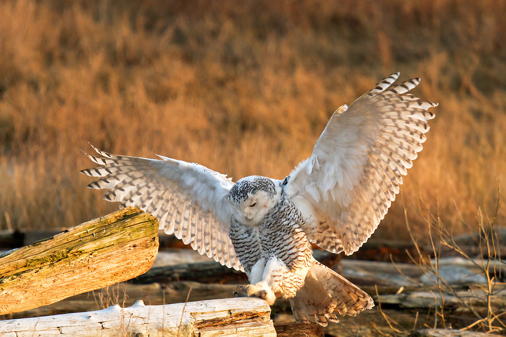 A Snowy Owl (Bubo scandiacus) hops onto a piece of driftwood at Boundary Bay in Delta, British Columbia, Canada