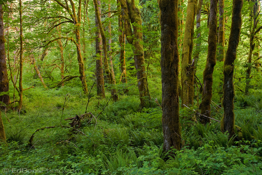 Evening light paints moss covered Bigleaf Maples with a warm glow in the Duckabush River temperate rain forest in the Olympic National Forest, Washington, USA.