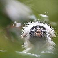 Zanzibar red colobus monkey, Piliocolobus kirkii, an Endangered species from Zanzibar