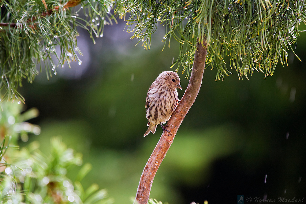 Small bird sheltering from the rain in a tree