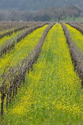 Mustard flowers grow between the empty grape vines in Napa valley, California.