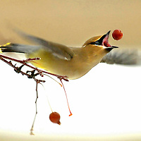 A cedar waxwing tosses a berry in the air to eat as it takes off from a crabapple tree Thursday in Sheridan, Wyo.