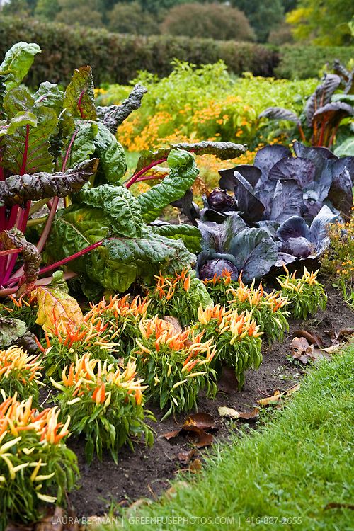 Amazingly colourful Bright Lights chard, purple cabbage and five color peppers in a potager in autumn.