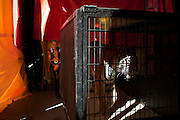"""Cole Bros. Circus performer Jurgen Nerger prepares to enter the Big Top with his Bengal Tiger show during a stop in Frederick Maryland. The Cole Bros. Circus of the Stars is celebrating its 127th season and bills itself as the """"World's Largest Circus Under The Big Top."""""""