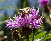 A bee gathers nectar and pollinates a purple knapweed flower (Centaurea genus), at Passo Cibiana, Dolomites, part of the Southern Limestone Alps, Italy, Europe. Centaurea is a genus of hundreds of species of herbaceous thistle-like flowering plants (commonly called knapweed, starthistle, centaury, or centory) in the family Asteraceae. Centaurea are found only north of the equator. UNESCO honored the Dolomites as a natural World Heritage Site in 2009.