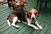 13 July 2008:  A two year old beagle basset hound sitting on a green wood deck.
