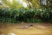 Alligator hunting near Shell Island, Louisiana on Saturday, September 19, 2009.